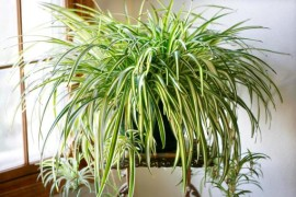 Разновидности хлорофитума и уход за растением