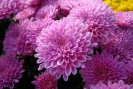 Разновидности хризантем и правильный уход за ними