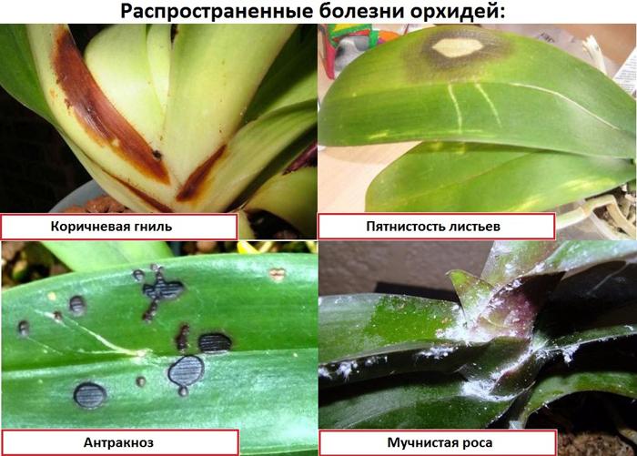 Распространенные болезни орхидей