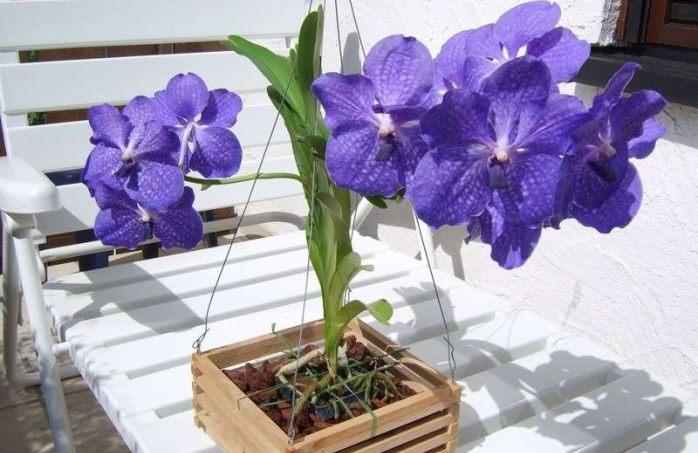 Сорт Ванда фиолетовый