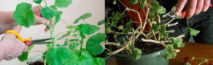 Обрезка растения