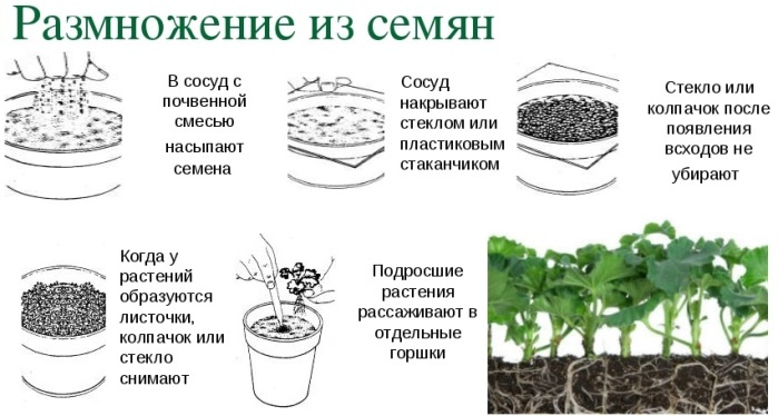 Размножение из семян