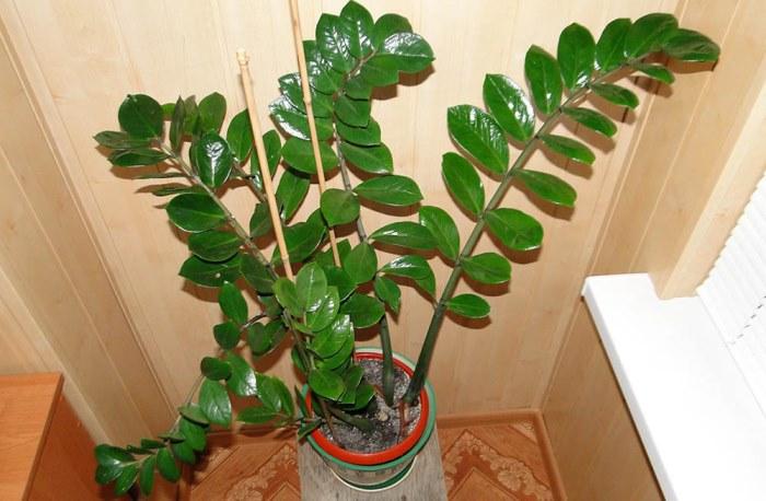 Размеры растения